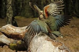 Island Conservation New Zealand Native Birds at Risk ...
