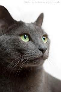 cat russian blue top 10 most expensive cat breeds in the world mostly facts