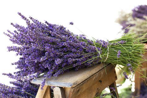 fiore di lavanda 4 modi per utilizzare i fiori di lavanda freschi e secchi