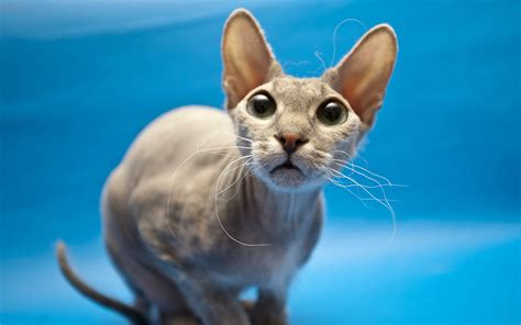bold cat bold cat hd cool wallpapers