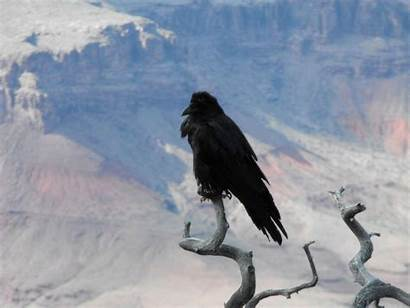 Raven Background Wallpapers Collections Backgrounds Animal Wallpapercave