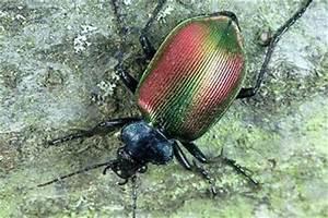 Großer Schwarzer Käfer Bilder : insektenbox gro er puppenr uber ~ Frokenaadalensverden.com Haus und Dekorationen