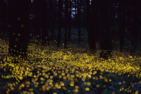 New Firefly Species From California Discovered By