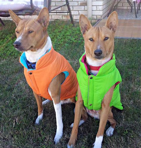 get to know the basenji a breed of ancient freethinkers