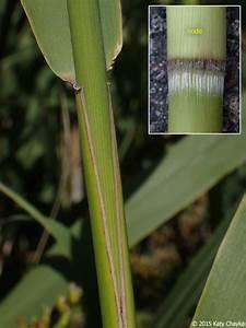 Phragmites Australis Subsp  Australis  European Common Reed   Minnesota Wildflowers