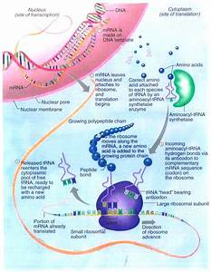 2 3  Protein Synthesis