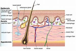 Adult Human Skin Is A Layered Organ Consisting Of An
