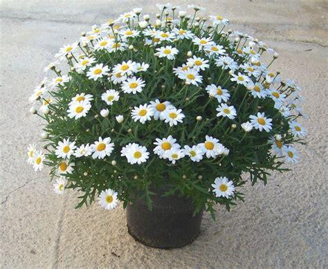 margherite in vaso le margherite fiori caratteristiche delle margherite