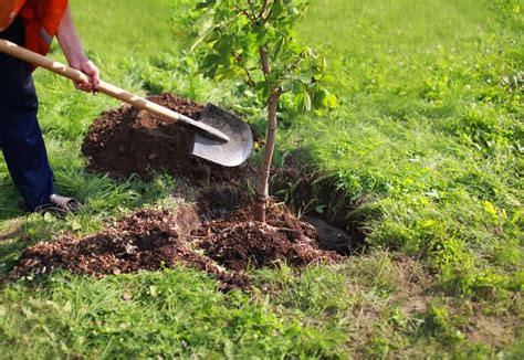 how to plant trees how to transplant a tree mnn mother nature network