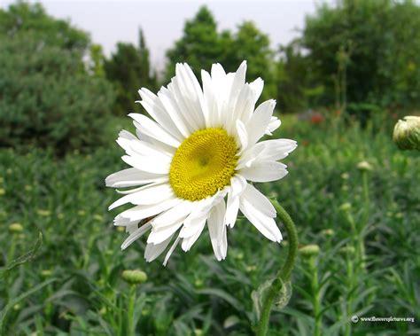 white flower pictures flower wallpapers white flower wallpaper