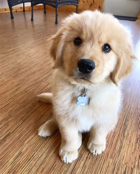 rollo  golden retriever puppy golden retriever