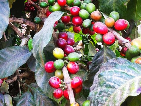 My husband's uncle owns a coffee plantation in guatemala (near coban) and he is now looking to sell in the united states. Filadelfia Coffee Plantation | Antigua Guatemala | Guatemala | AFAR