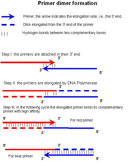 the leading strand template forms a priming loop primer dimer wikipedia