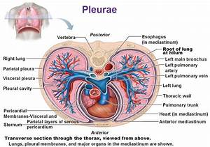 Pleurae  Pleural Cavity  Pericardial Membrane  Root Of