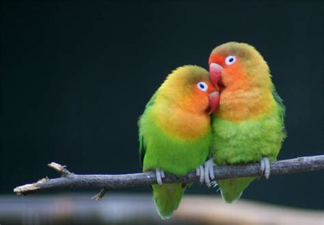Parrot Forum • View Topic  Taming 2 Versus 1 Lovebird