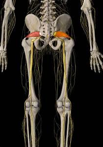 Psoas And Piriformis - Two Pain-causing P U0026 39 S