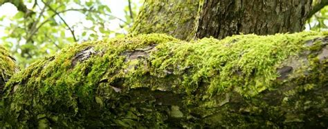 moos steinen entfernen moos entfernen am apfelbaum sch 228 dlich oder nicht