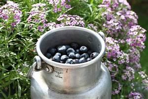 Heidelbeeren Pflanzen Zeitpunkt : blaubeeren heidelbeeren anbauen pflanzen schneiden und erntezeit ~ Orissabook.com Haus und Dekorationen