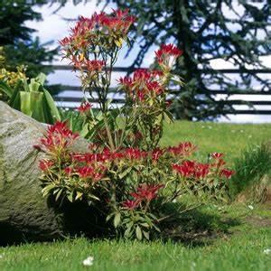 Japanische Pflanzen Winterhart : japanische lavendelheide pieris japonica pflege tipps ~ Michelbontemps.com Haus und Dekorationen