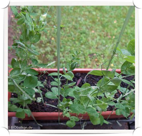 Gemüse Im Balkonkasten by Zuckererbsen Im Blumenkasten Biobalkon De