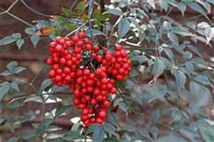 Busch Mit Roten Beeren : rote beeren auf strauch stockfoto bild 51112585 ~ Markanthonyermac.com Haus und Dekorationen
