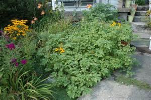 Cerise De Terre Plant by 3 Gardens In Quebec Ao 251 T 2011