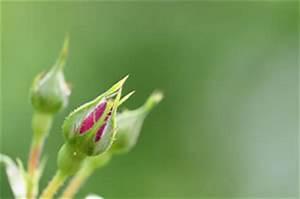 Schädlinge An Rosen : h ufige sch dlinge an rosen bek mpfen rosensch dlinge ~ Lizthompson.info Haus und Dekorationen