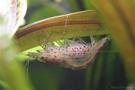oeuf de crevette aquarium oeuf de crevette aquarium 28 images association comtoise d aquariophilie 187 archives du 187
