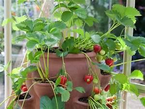 Erdbeeren Pflege Balkon : balkongarten anlegen frisches gem se in k beln anbauen ~ Lizthompson.info Haus und Dekorationen