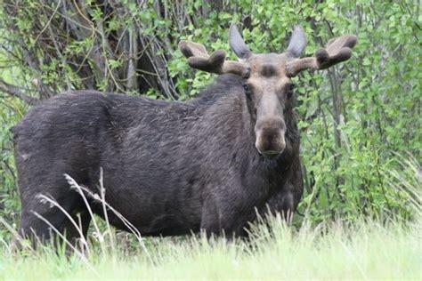moose  yellowstone  grand teton national park