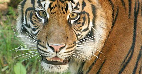 tiger kills sumatran keeper tigers zoo story usatoday