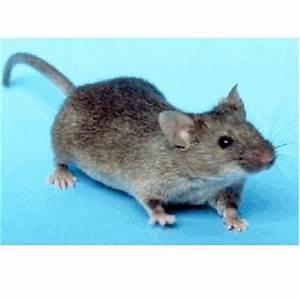 Mittel Gegen Mäuse Im Haus : m use vertreiben ungeziefer im haus ~ Lizthompson.info Haus und Dekorationen