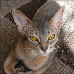 Abyssinian Cat fawn - Google Search | Abby road ...
