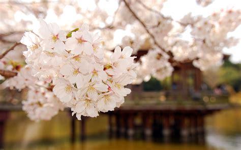 cherry blossom flowers blossom wallpaper 223