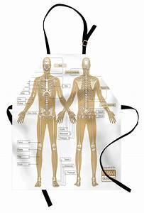 Human Anatomy Apron Diagram Of Human Skeleton System With