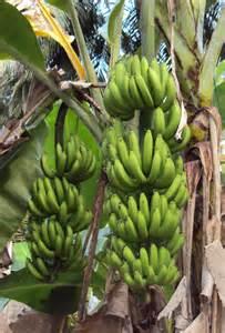 Kerala Plantain Trees