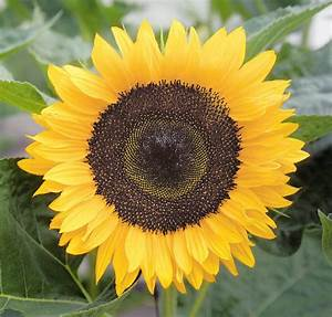 Helianthus Annuus  Holiday  Annual