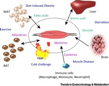 sarcolipin  key thermogenic  metabolic regulator