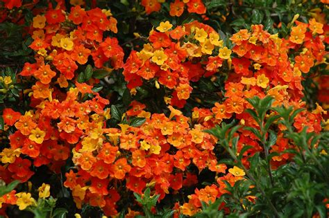 Hardy Marmalade Bush Adds Flamboyance To Your Flora Sfgate