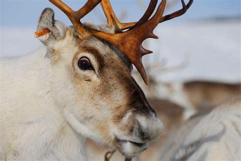 reindeer eyes turn blue in the winter