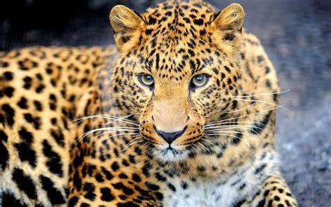 Leopard Animal Wallpaper - 배경 화면 동물 육식 동물 표범 눈 얼굴 2560x1600 hd 그림 이미지