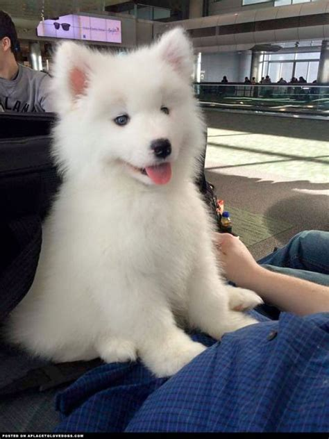 17 Best Images About Samoyeds On Pinterest Siberian