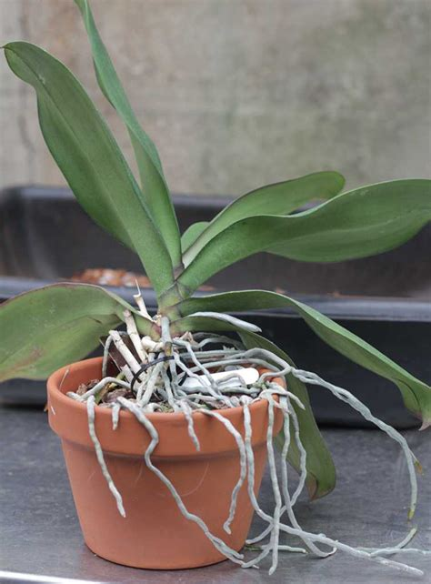 repotting orchids with roots repotting phalaenopsis moth other monopodial orchids