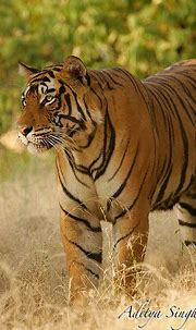 Ranthambhore male tiger 5 | www.ranthambhore.com | Aditya ...