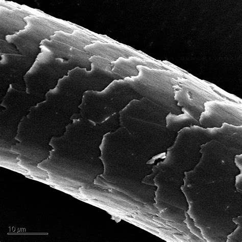Hair Image by Scientific Image Sem Of Human Hair Nise Network