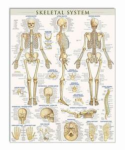 Look At This Skeletal System Poster On  Zulily Today