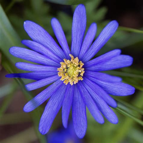 grecian windflowers growing tips anemone blanda blue shades grecian windflowers easy to grow bulbs