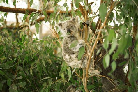 Gehoelze Schneiden Pflanzen Und Pflegen by Eukalyptus Pflanzen Pflegen Und Schneiden