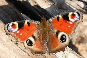 Was Machen Schmetterlinge Im Winter : das tagpfauenauge nabu ~ Lizthompson.info Haus und Dekorationen