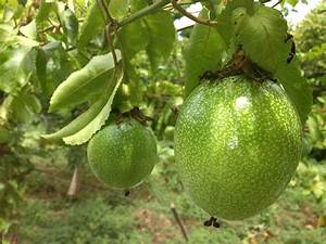 Pics For > Yellow Passion Fruit Tree